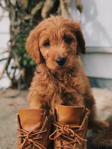 Pup met schoenen aan